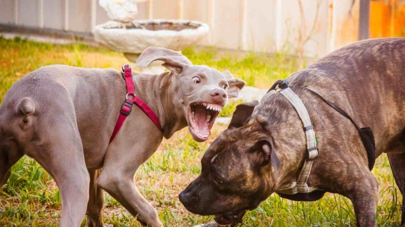 Training Your Aggressive Dog