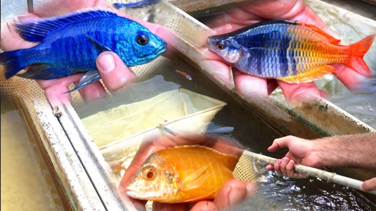 The Aquarium and More for Your Cichlids