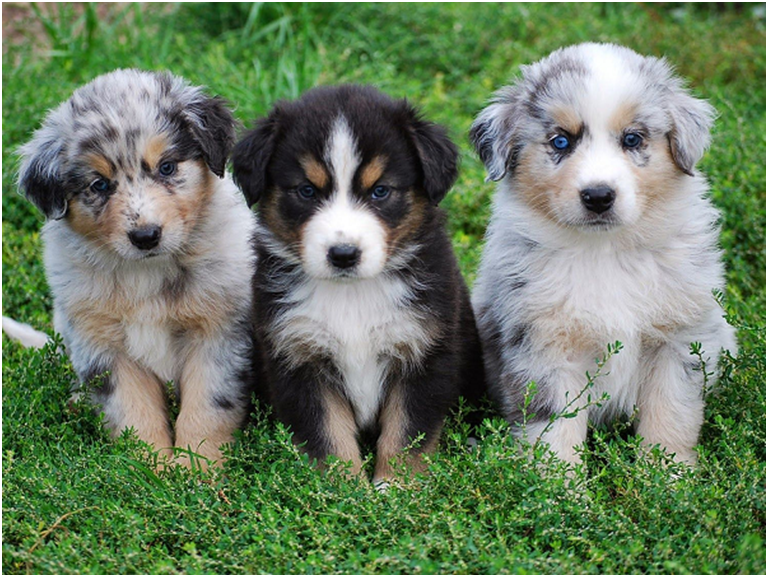 How to Care Your Growing Australian Shepherd Puppy?