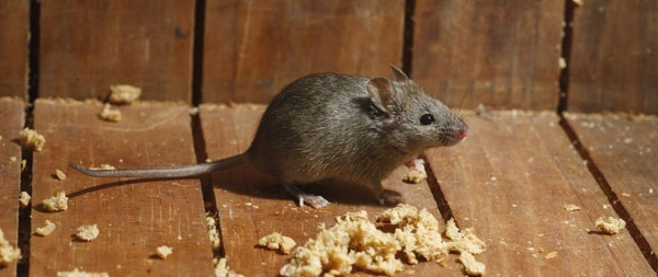 Rodent Dropping Cleanup Services