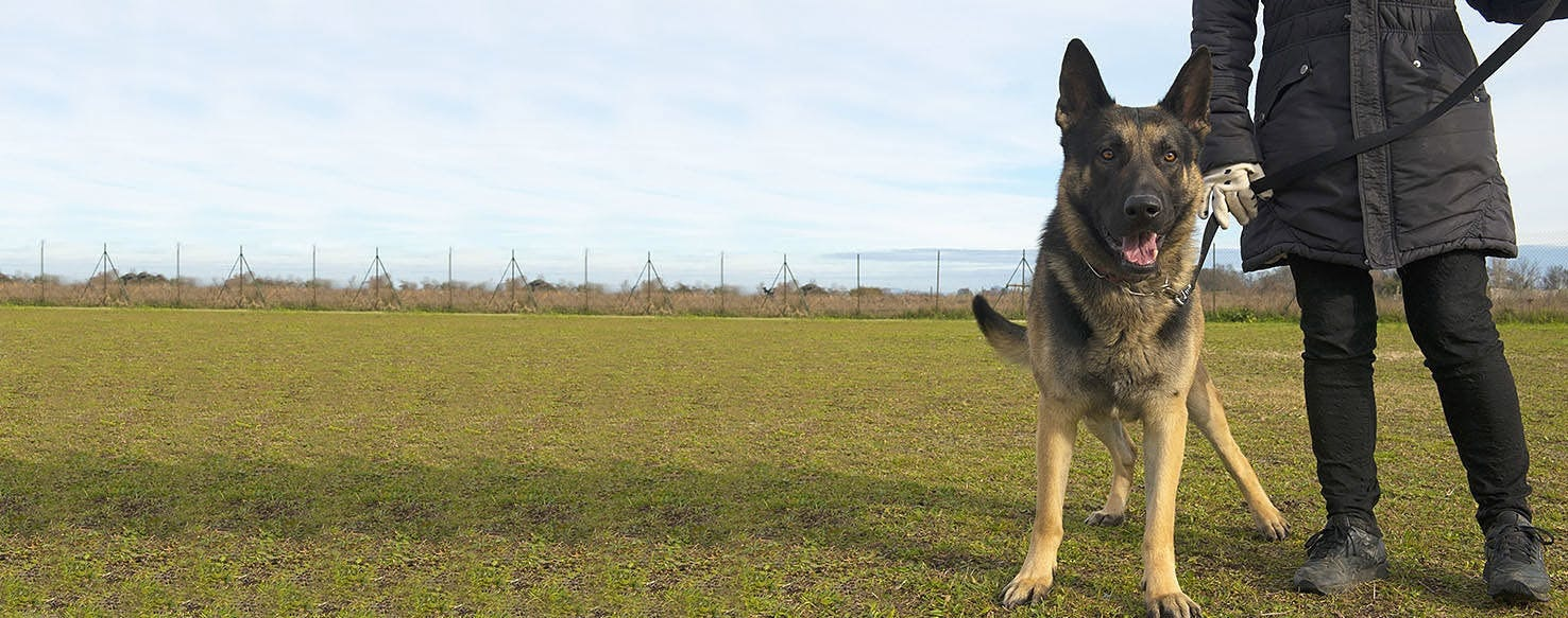 How to Know Your German Shepherd is Reactive or Aggressive?