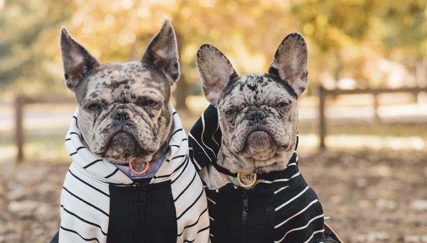 How To Select The Best Food For Your French Bulldog?