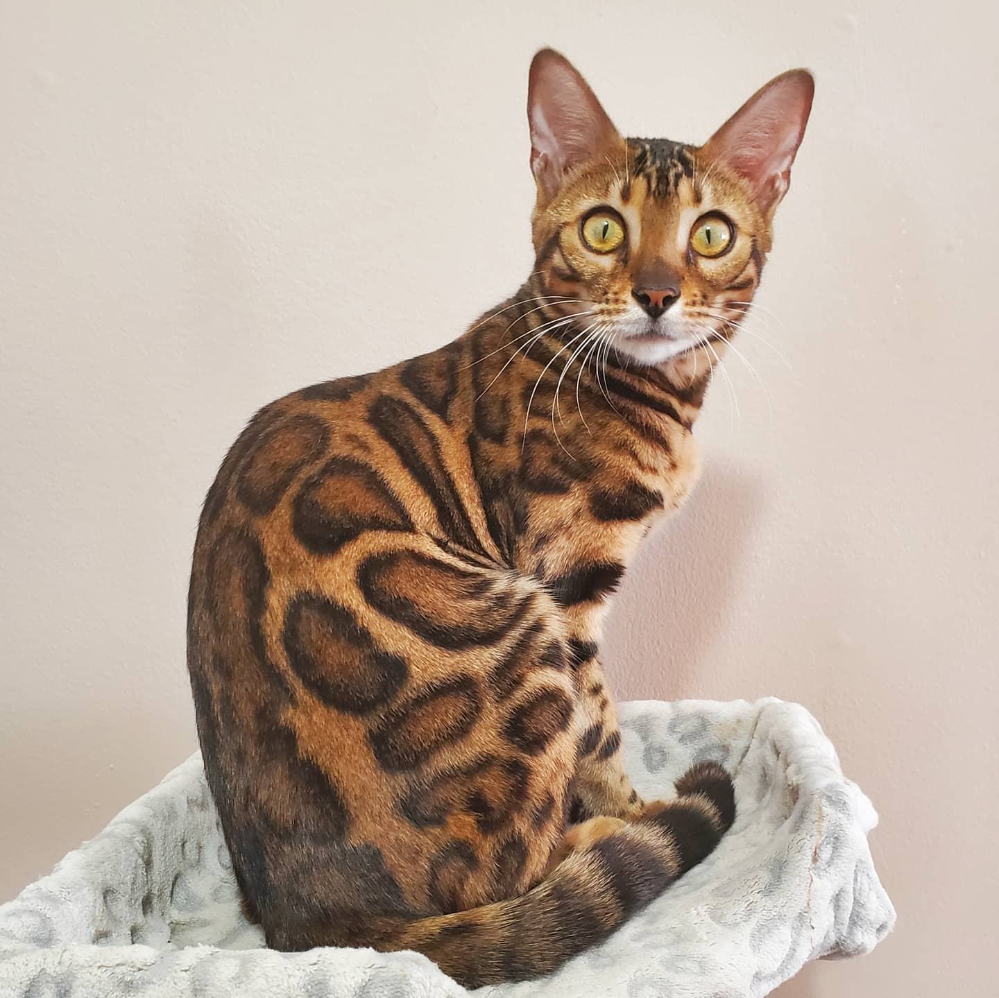 Does the space of your home affect a Bengal cat's quality of life?